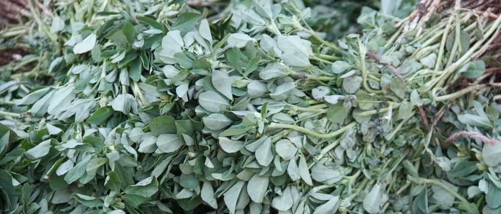 Fenugreek in the state is 250 to 3000 rupees per hundred