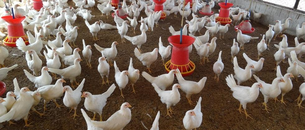 Coccidiosis disease management in poultry birds