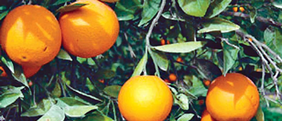 orange growers facing trouble due to transportation close