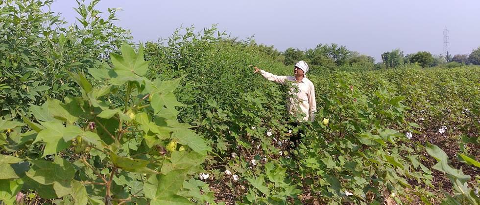 Intercropping of  Pigeon pea in cotton
