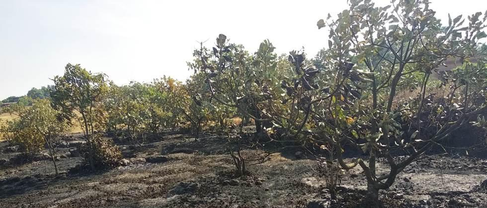 आंबा, काजूची हजार झाडे वणव्यात होरपळली Thousands of mango and cashew trees sprouted in the forest