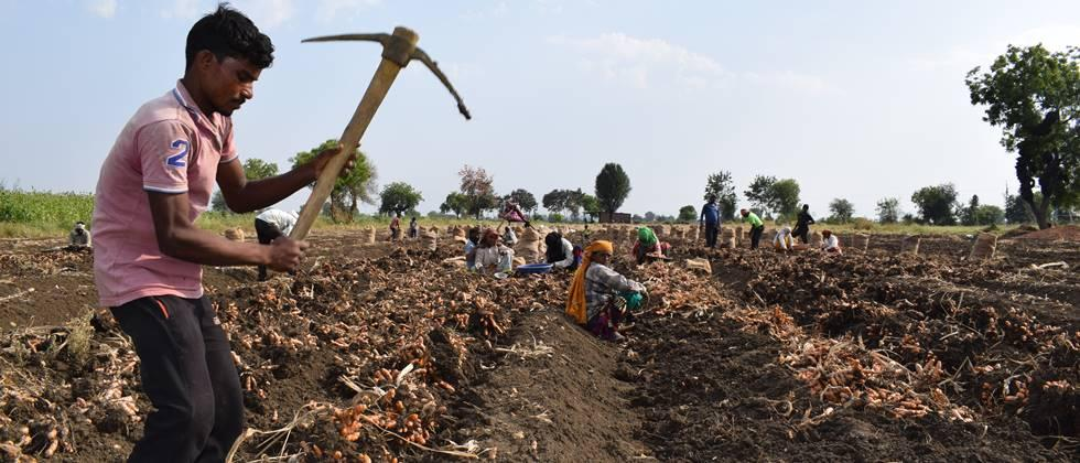 Turmeric harvesting has created employment in the village.