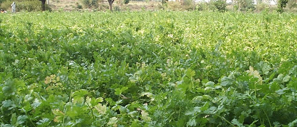 Techniques of Coriander Cultivation