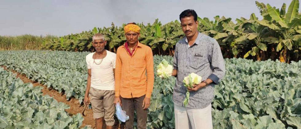 Bhupendra sutar showing quality cauliflower in his farm