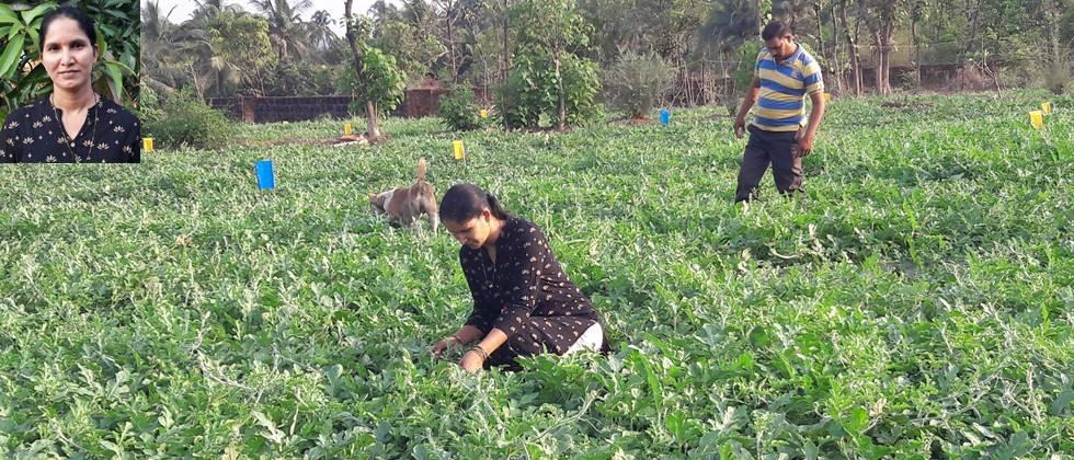 Nandoskar family busy in the management of watermelon crop.