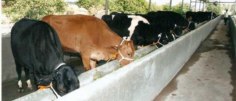 Milk animals should be given adequate amount of animal feed.