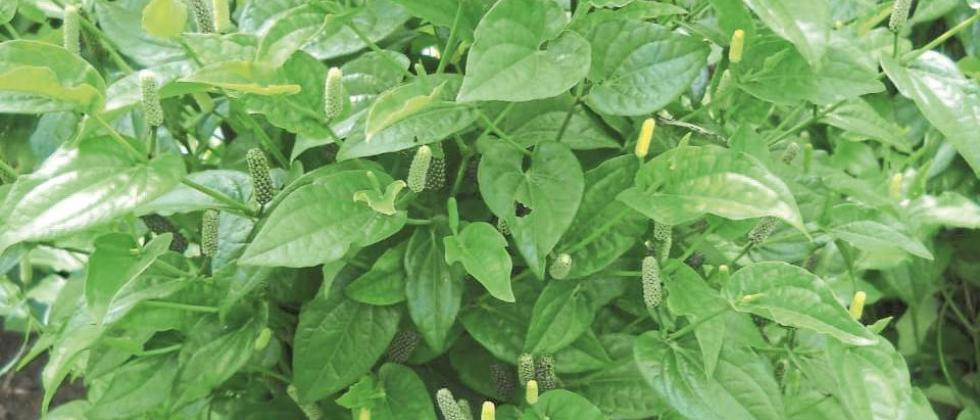Growers are relieved by the increase in the price of herbal leaves