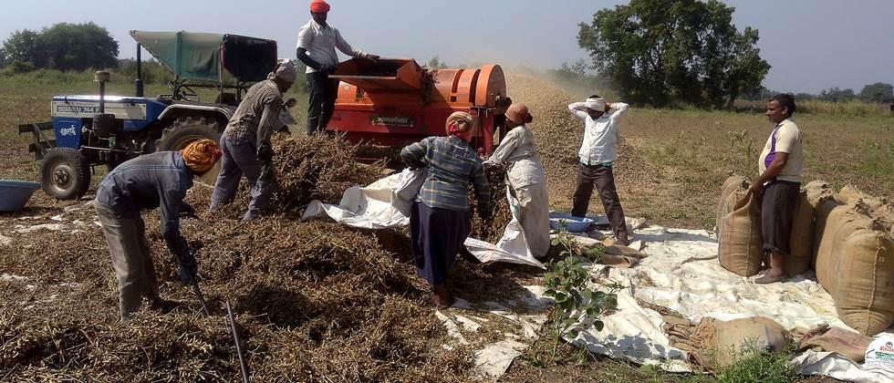 Harvesting of soybean in Khandesh, threshing on extension