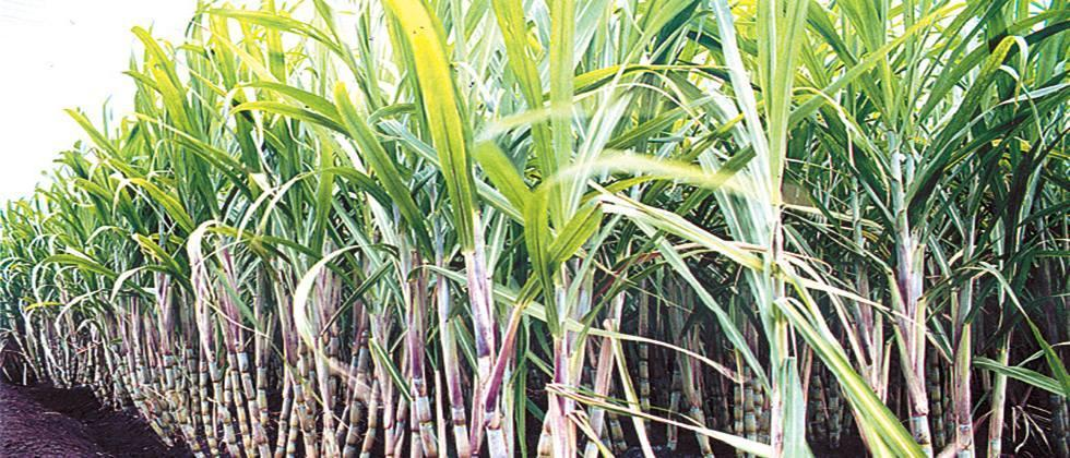 Sugarcane should be included in the Prime Minister's Crop Insurance Scheme