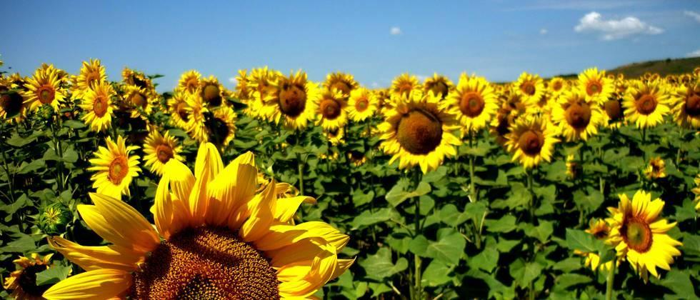 Sunflower excluded from crop insurance on Tuesday