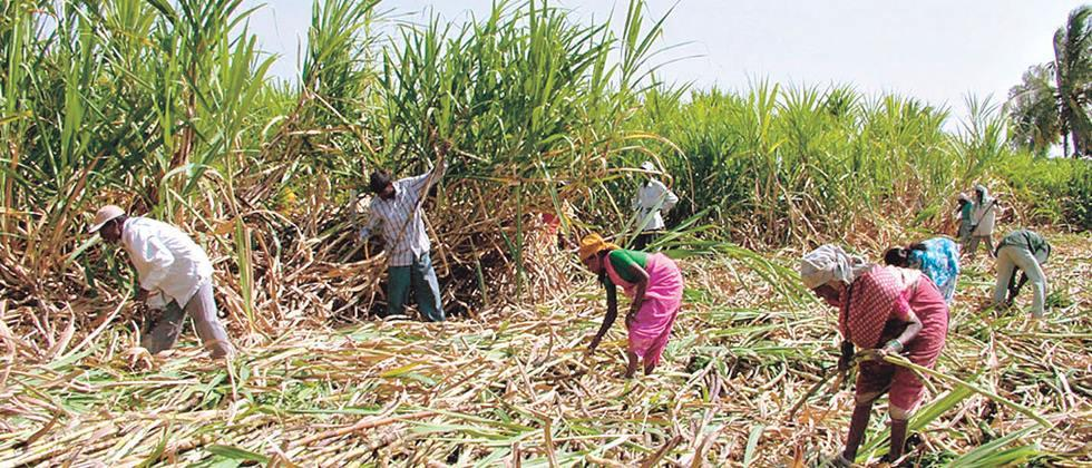 rains stop cutting sugarcane in Kolhapur district
