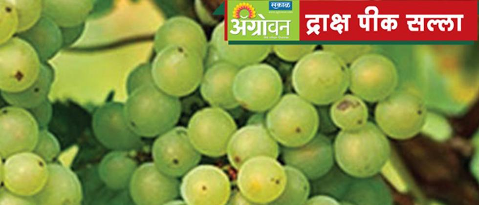 grapes advice by Dr. Somkuwar