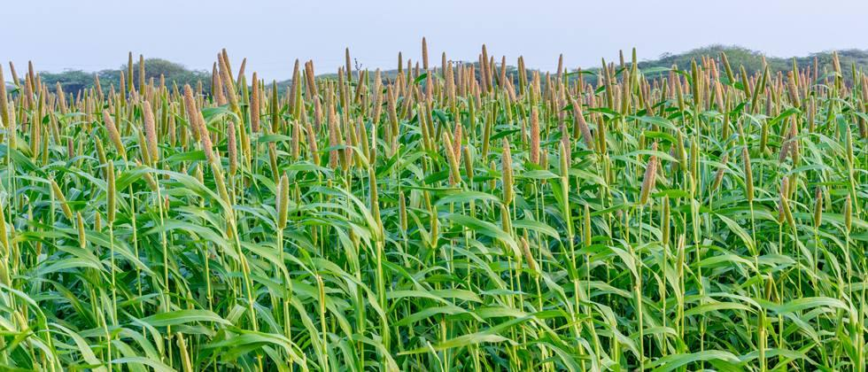 Fifteen thousand hectares of millet sown in Khandesh