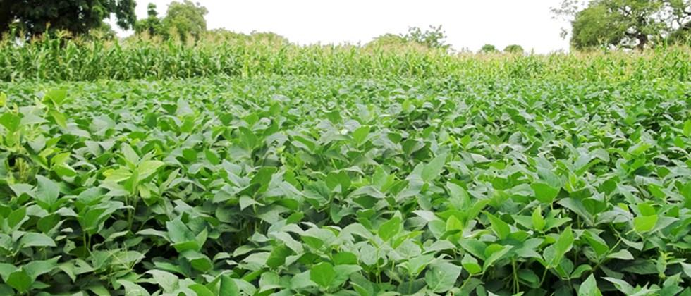 cultivation of cow pea for fodder purpose