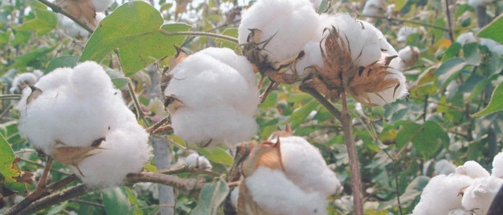 Government cotton procurement in Khandesh stopped