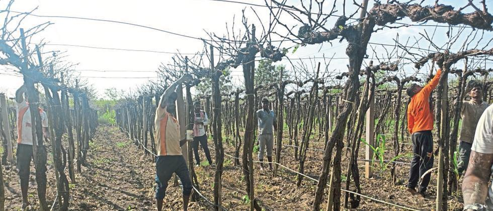 Pruning of grapes resumes in Sangli district