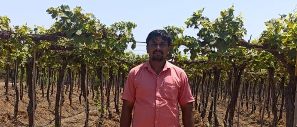 No one would ask the grapes because of the 'corona' in Varud