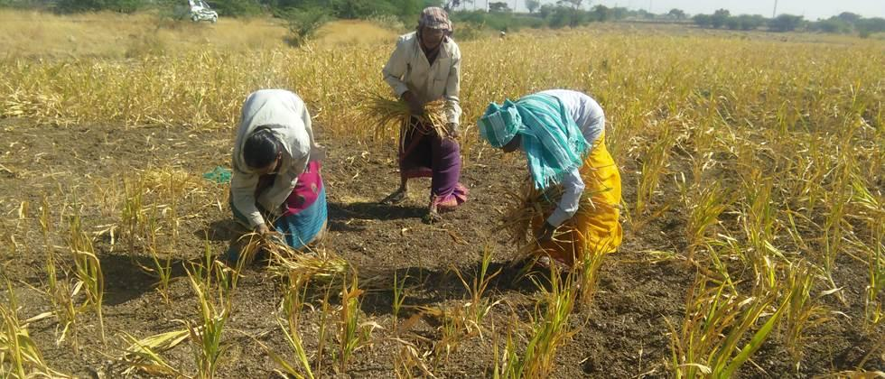 43,000 farmers in Barshi Deprived of drought funds