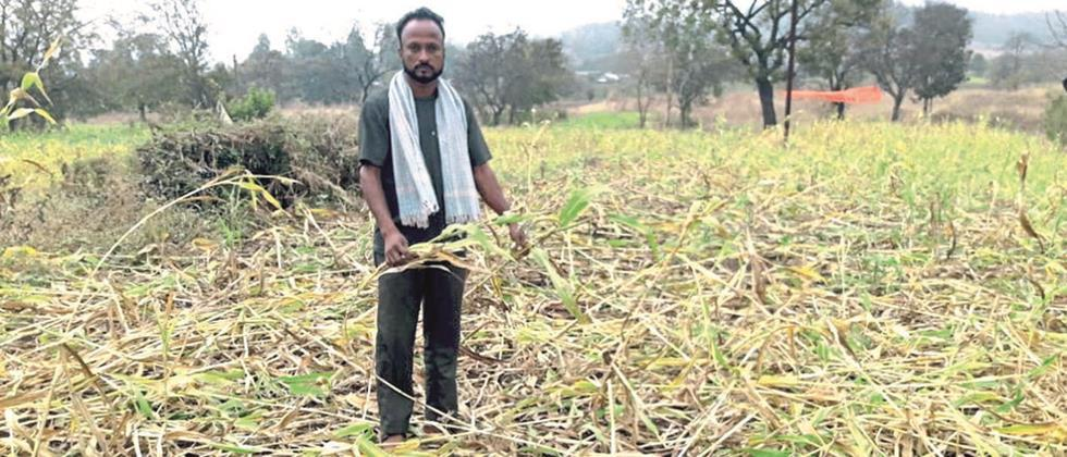 250 acres of sorghum crop destroyed in the Dhebewadi valley
