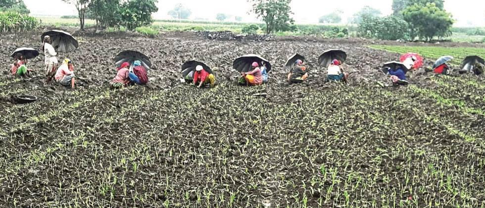 Planning of onion cultivation in Nashik district collapsed