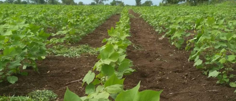Release rotation for cotton cultivation: Co. Kshirsagar