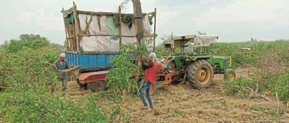 Farmers ax pomegranate orchards in Nagar district
