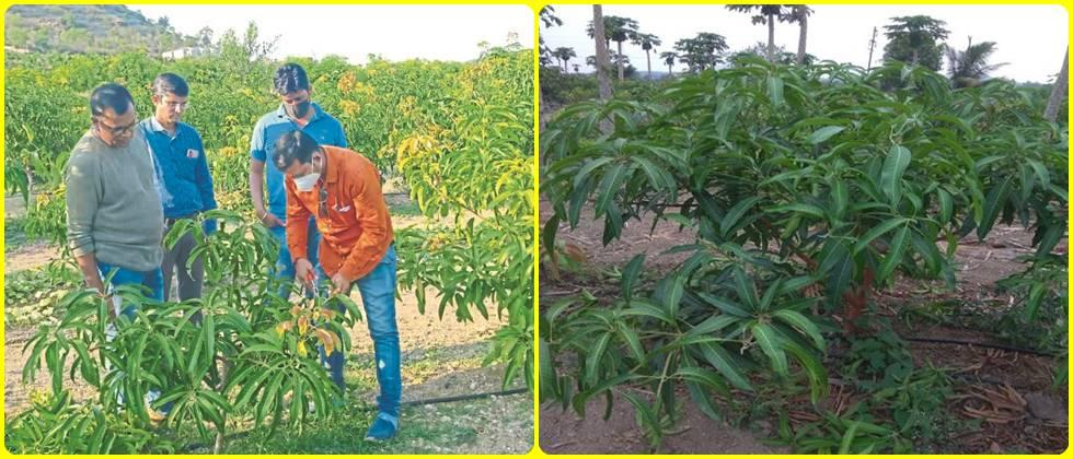 Demonstration of pruning in mango orchard