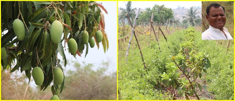 intercropping of tomatoes in  Guava