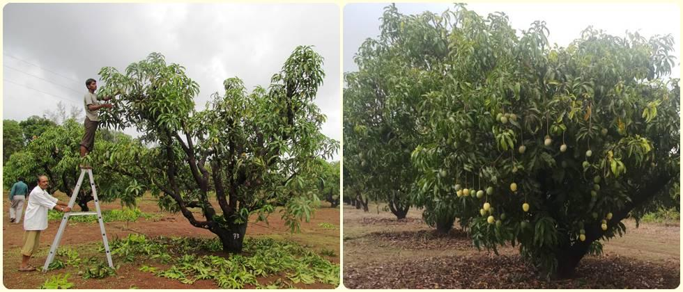 Revival of the old mango orchard