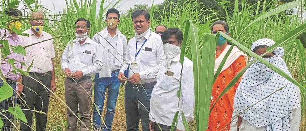 Outbreaks appear to be exacerbated during sugarcane and fodder crops in Parbhani