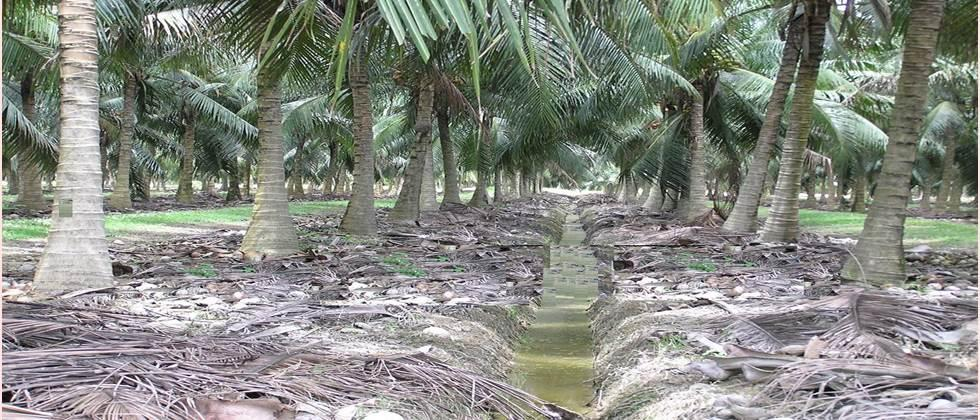Drain the excess water from the coconut orchard.