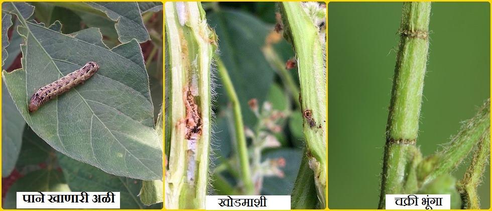 pest on soybean crops