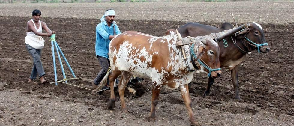 Cultivation over; sowing move on  in Majalgaon taluka