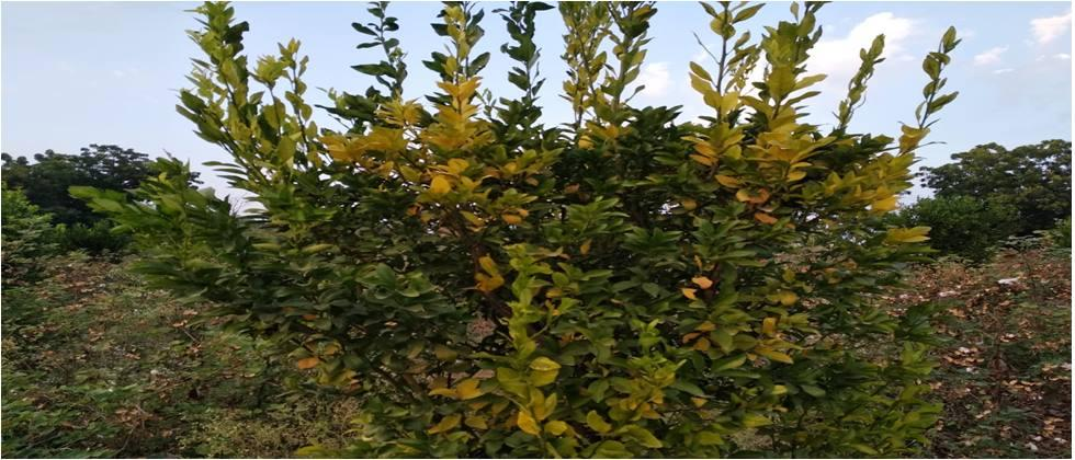 The leaves on the citrus tree turn yellow due to various reasons