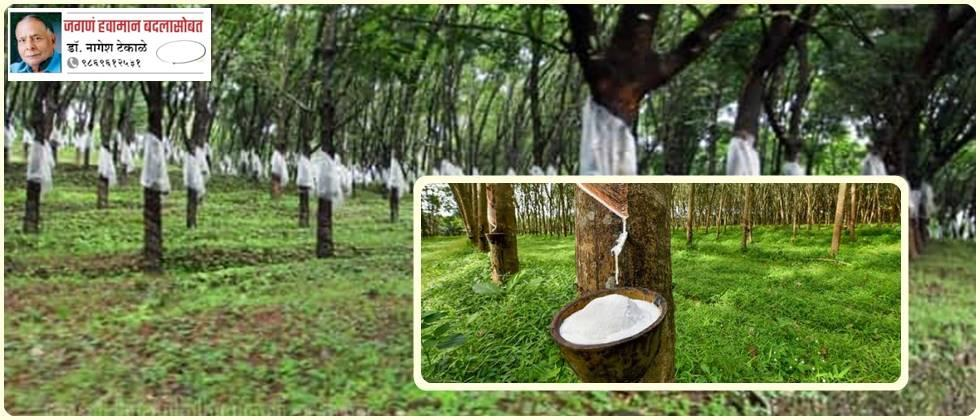 Rubber farming is growing rapidly, while traditional paddy farming is declining.