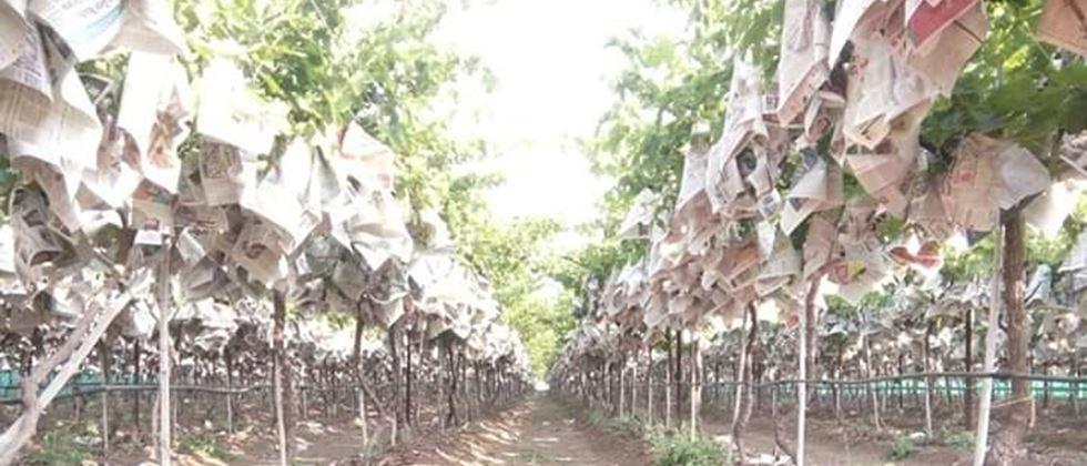 precautions at time of bagging of grapes