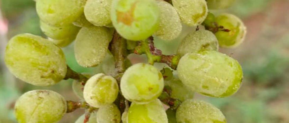 control measures for powdery mildew & mealy bug