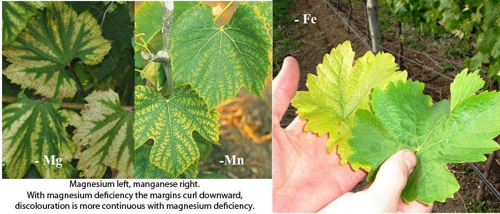 grape, fertilizer, deficiency, dr. somkuwar