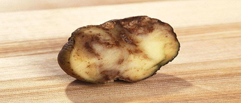 potato late blight occurrence is due to virus