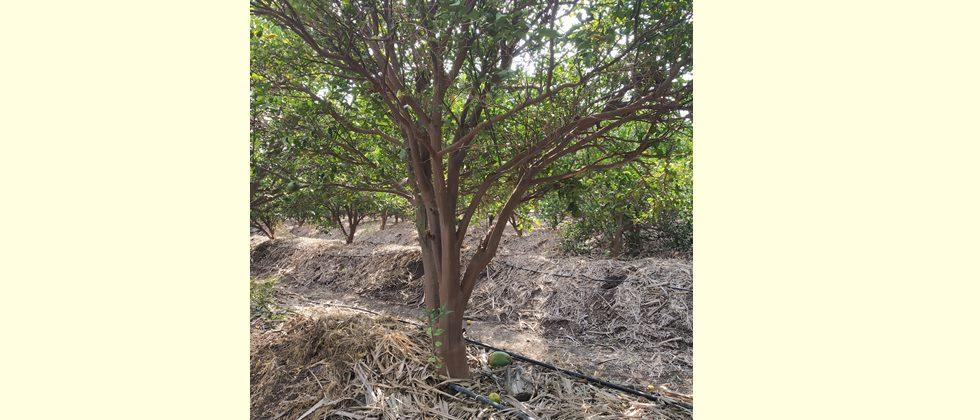 use the drip irrigation and mulching for fruit orchards.