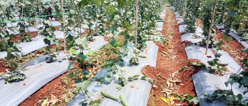 Damage to agricultural crops due to rain in Satara