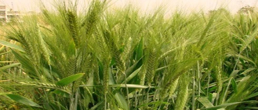 Wheat sowing will increase in Jalgaon