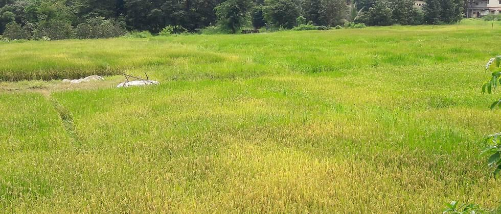 90% of paddy crop in Sindhudurg district is loamy