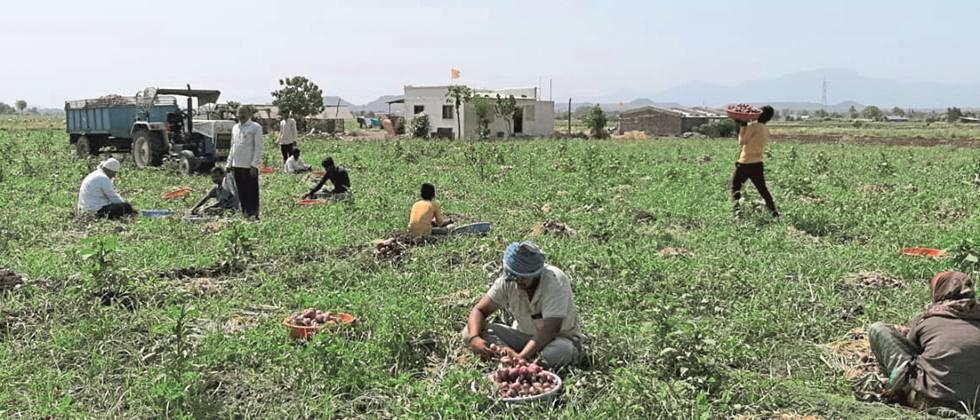 Lack of manpower for onion harvesting, harvesting delayed