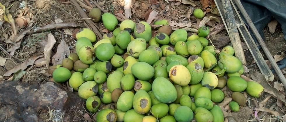 Hail hits mango orchards