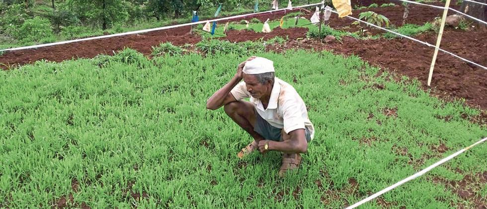 Damage to paddy crop from cows in Satara