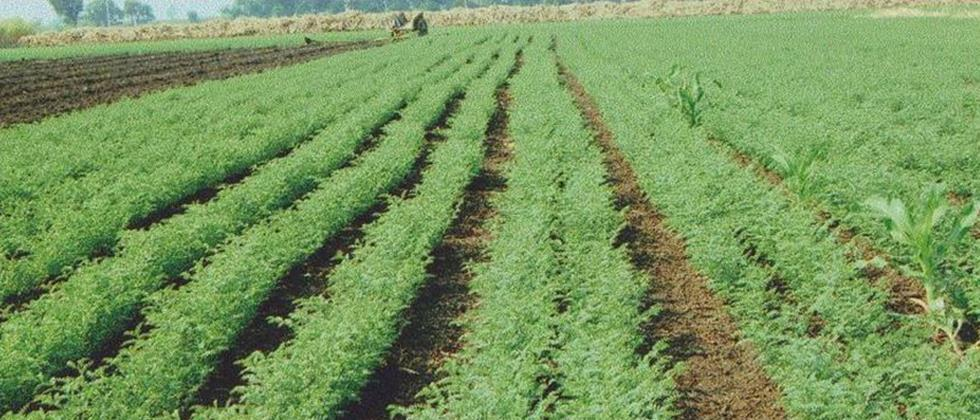 In the city district, the sowing of gram could not be accelerated either
