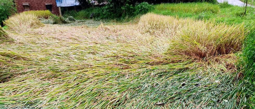 Paddy cultivation in Ratnagiri was halted due to heavy rains