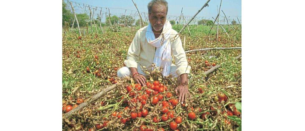 Loss of tomato growers due to falling prices