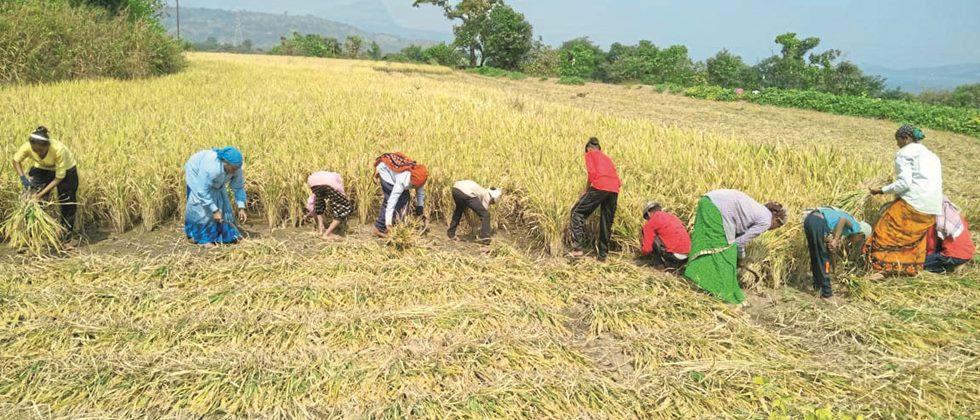 Acceleration of paddy harvest in Pune district